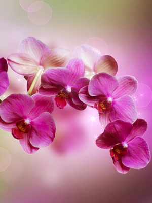 Wallpaper Orchid